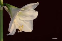 Amaryllis 'Minerva' (jlcummins - Washington State) Tags: flower flora amaryllis amaryllisminerva canonef100mmf28macrousmlens floraaroundtheworld ourwonderfulandfragileworld