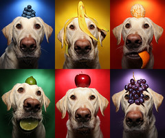 Fruit Rainbow (scott cromwell) Tags: orange dog apple fruit rainbow labrador banana retriever blueberry lime grape yellowlabrador thelittledoglaughed ldlportraits 25ccfbt