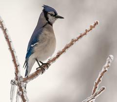 Blue Jay (snooker2009) Tags: blue winter snow storm bird fall ice nature birds animal outdoors jay wildlife small bluejay getty migration d800 thewonderfulworldofbirds dailynaturetnc13