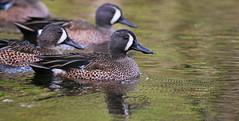 Blue-winged Teal (uropsalis) Tags: mexico duck teal waterfowl quintanaroo puertoaventuras bluewingedteal anasdiscors