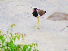 1IMG_3898 RED LAPWING (Rajeev India (THANKS for views, comments n faves)) Tags: red lapwing