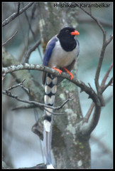 Red-billed Blue Magpie (Hrishikesh Karambelkar) Tags: india birds maharashtra rajapur angale