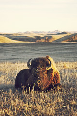 (Nordical) Tags: wild nature animal southdakota landscape buffalo sd badlands bison badlandsnationalpark