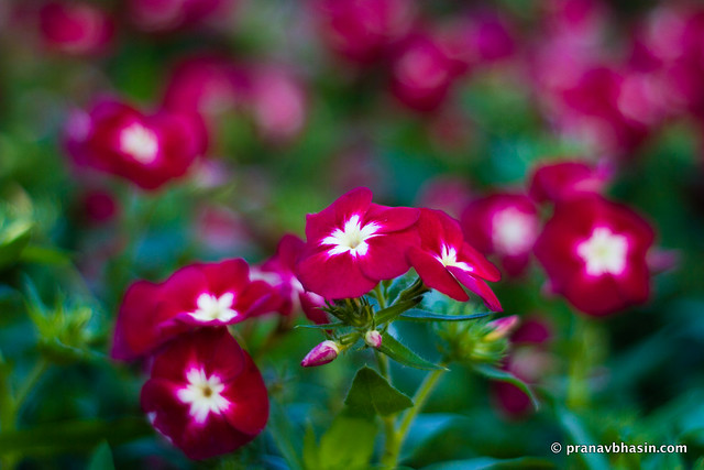 Pretty Red Flowers, At Leisure Valley, Gurgaon