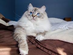 The Princess on her (my) bed. (Tym4myself) Tags: blue cat nikon kitten blueeyes sable kitty lynx ragdoll 18105mm d7000