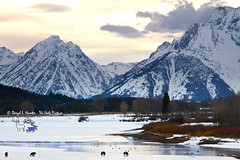 Grizzly Bears, Trumpeter Swans, Grand Tetons (Daryl L. Hunter - Hole Picture Photo Safaris) Tags: jackson wyoming jacksonhole springtime snowylandscape grandtetonnationalpark 399 grizzlybears trumpeterswans usausa oxbowbend unitedstatesunitedstates subadultgrizzly grizzly610andcubs fourgrizzlies