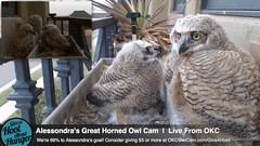 3.18.2014_717pmcst /  3rd in left cam HAS A Yucca Plant/Rat's Tail - the one to the left is staring at him!- Detective Birder23 (Birder23) Tags: twilight feathers progress perching owlets defenseposture greathornedowlnest planternest alessondrasgreathornedowlcam 3182014 winggrowth owleteyes