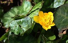 Emerging from the undergrowth (fleetingglances) Tags: nature sunshine yellow swansea wales woodland woods god creation swallow emerging celandine undergrowth