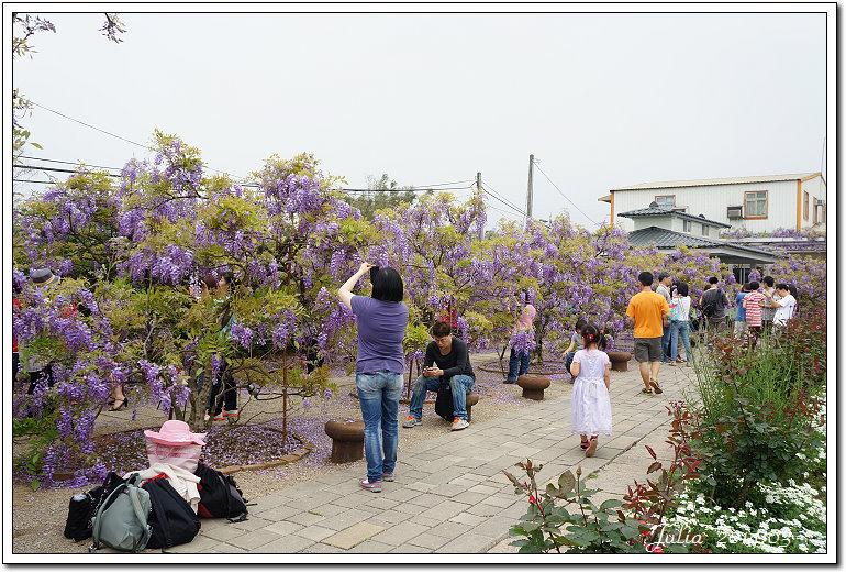 紫藤、老梅 (33)