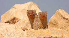 Mongoose (Zahoor-Salmi) Tags: camera pakistan macro nature birds animals canon lens photo tv google flickr natural action wildlife watch bbc punjab wwf salmi walpapers chanals discovry beutty bhalwal zahoorsalmi