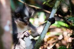 Thomas Leaf Monkey 4732 (Ursula in Aus (Resting - Away)) Tags: animal sumatra indonesia monkey unesco bukitlawang gunungleusernationalpark earthasia sumatrangrizzledlangur thomasslangur presbytisthomasi thomasleafmonkey