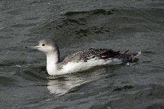 Dave Again. (stonefaction) Tags: city red nature birds dave scotland dundee wildlife quay diver faved throated