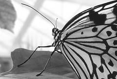 Kerbtier x91 (franxpost) Tags: falter insekt schmetterling zeichnung flgel fhler kerbtier