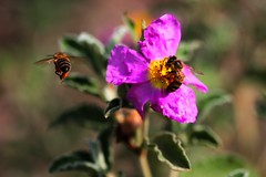 Bees (MaOrI1563) Tags: italy flower macro closeup florence italia bees bee tuscany ape firenze camelia fiore api scandicci polline poggiovalicaia maori1563