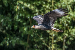 Caracara crestata (Roby 24) Tags: uccelli animali caracara rapaci nikonclubit