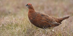 Red Grouse (KHR Images) Tags: red nature scotland highlands nikon heather wildlife grouse moorland lagopuslagopus redgrouse lochindorb tetraonidae d7100 maturemale 8004000mmf4556 kevinrobson khrimages