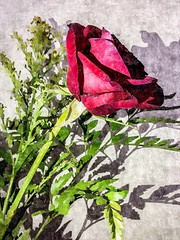 Rose of love. The Rose speaks of love silently, in a language known only to the heart (Mr.Machain) Tags: shadow flower art nature rose outdoors petals paint silk canvas rosepetals leafs silkpainting artsandcrafts flowerpetals paintedflower