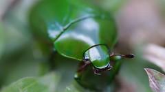 Jewel Scarab Beetle (Chrysina sp.) (Eric Vanbergen) Tags: chrysina costarica beetle jewelscarab