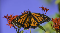 Monarch Butterfly (C. P. Ewing) Tags: butterfly butterflies animal animals insect insects nature natural flower flowers sky outdoor outdoors colors colorful red orange blue green monarch