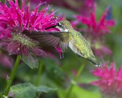 humming bird sampling bee balm _7-5-16_013 (pmsswim) Tags: rubythroathummingbird colibrí archilochuscolubris beebalm monarda inthegarden summer july 2016