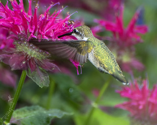 humming bird sampling bee balm _7-5-16_013