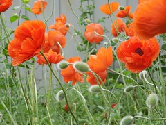 poppies 008 (cellocarrots) Tags: poppies