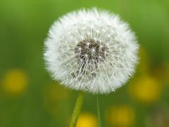 _5312549_r (Hao2008) Tags: nature spring nobody olympus dandelion zuiko m43 50200mmf2835