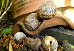 Garden Snails - Helix aspera