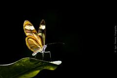 Butterfly Greta oto- Butterfly-to-crystal (Igor Pereira Fotografia) Tags: vidro de asa por greta oto asas ter transparentes butterflytocrystalborboleta