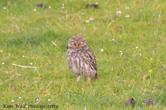 LittleOwl_15062013_4a (Kim Wall Photography (Purplesun2001)) Tags: somerset littleowl nyland kimwallphotography