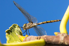 Dragonfly #2 (AmerAbbasi) Tags: macro up fly leaf dragon close dragonfly detailed