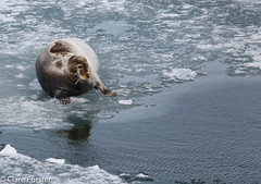 Bearded seal (Clare Forster) Tags: cruise norway svalbard arctic adventure explore gadventures