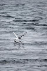 JL1A9272.jpg (Graham Racher) Tags: tern arctictern mossbank sternaparadisaea shetlandislands