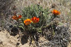 Desert flower (l a b e t e) Tags: california plants usa nationalpark desert joshuatree np photokmatrixde