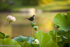 _MG_5321.jpg (christian.corich) Tags: flowers canon lotus mobot sacredlotus nelumbonucifera ef100400f4556l 5dmkii sacredwaterlotus