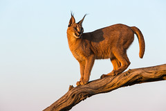 20130607_Namibia_Naankuse_Lodge_0193.jpg (Bill Popik) Tags: africa mammals namibia caracal 2places 3animals africancats
