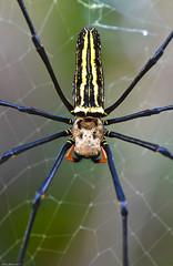 Giant wood spider, Izena Island- Japan (Okinawa Nature Photography) Tags: wood travel japan giant spider ryukyu the nephila maculata nephilamaculata expore nikonoutdoors nikond7000 okinawanaturephotography shawnmmillerphotography shawnmmiller2013 spidersinjapan bestspiderphotos