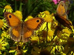 Aug2013 306Maniola tithonus - Gatekeeper  on Senecio jacobaea - Ragwort (monica_meeneghan) Tags: flowers butterfly insect summer13 bigbutterflycount