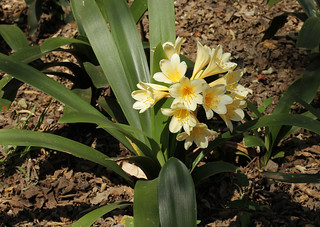 Clivia miniata var citrina - Walter Sisulu Botanical Garden, Johannesburg