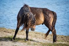 Raging Bull Look-Alike (jeff_a_goldberg) Tags: horse canada novascotia nationalgeographic wildhorse parkscanada loh sableisland feralhorse fishermansharbour sableislandhorse sableislandpony sableislandnationalparkreserve