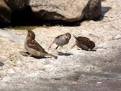 Jump! (vegeta25) Tags: bird birds jump fuji sparrow fujifilm sparrows 62 madarak madár myfuji s3200 113picturesin2013