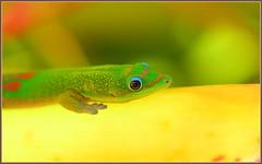 Colorful Gecko (tdlucas5000) Tags: blue green yellow hawaii colorful kauai gecko backlit ntbg macrolife