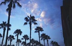 Hollywood (teacup_dreams) Tags: california trees film 35mm los angeles palm hollywood