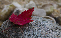 fall leaf (caitlinhenderson44) Tags: red rock leaf lone