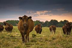 forage systems reseach center_0156 (CAFNR) Tags: cow cattle systems center system mo study research pasture missouri mizzou brookfield chillicothe mu forage universityofmissouri linneus cafnr collegeofagriculturefoodandnaturalresources