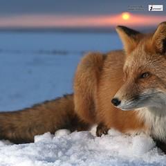 Fox Wild Animal