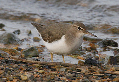 "Spotted Sandpiper, Hayle, P.Freestone • <a style=""font-size:0.8em;"" href=""https://www.flickr.com/photos/30837261@N07/10723818953/"" target=""_blank"">View on Flickr</a>"