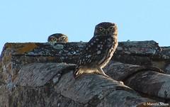 Mocho-galego (Athene noctua) (Marcelo F. M. Sousa) Tags: birds wildlife aves lagos algarve birdwatching athenenoctua mocho