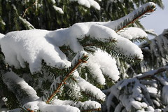 New snow (reinap) Tags: winter snow evergreen snowybranches