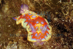 2010-05 HERBLAND MARTINIQUE HARLEQUIN BLUE DORIS CRHOMODORIS CLENCHI 4627